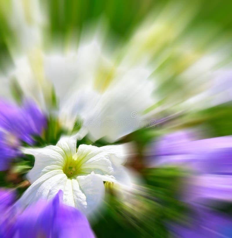 Fleur du pétunia photo libre de droits