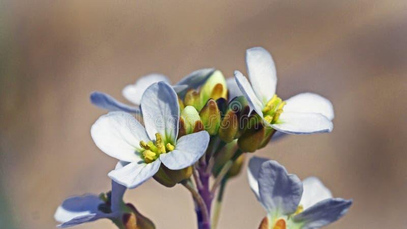 Fleur dunaire photo libre de droits