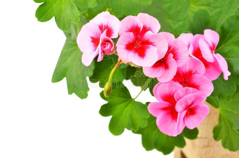 Fleur embaumée de géranium images libres de droits