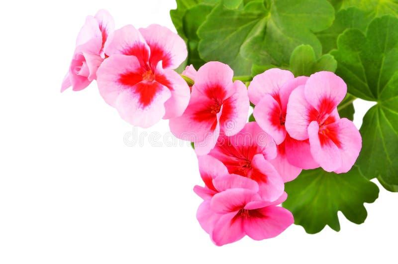 Fleur embaumée de géranium images stock