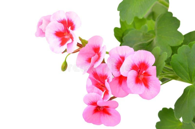 Fleur embaumée de géranium photos stock