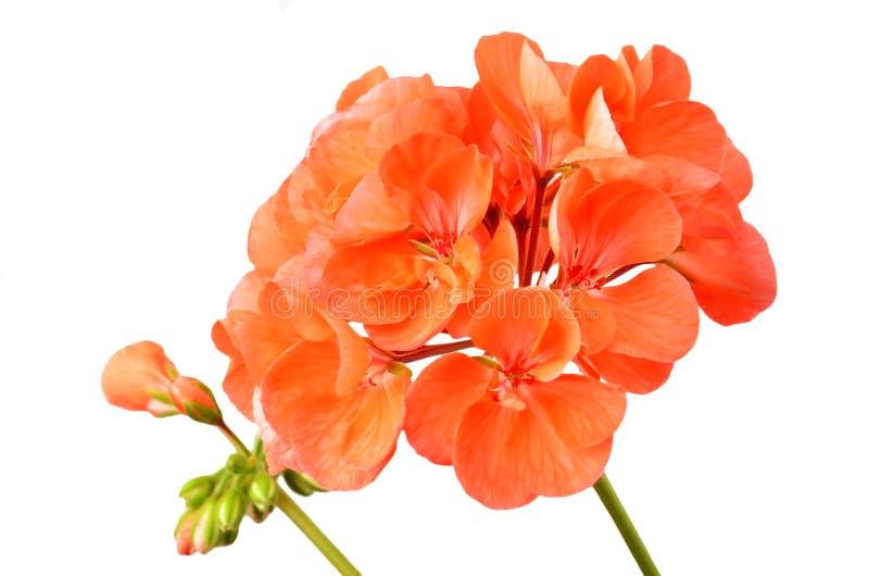 Fleur embaumée de géranium photos libres de droits
