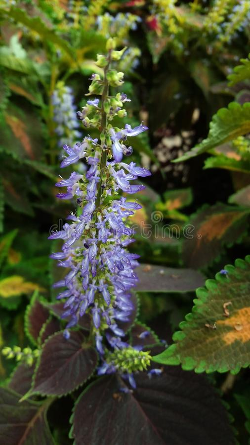 Fleur en Cameron Highlands images stock