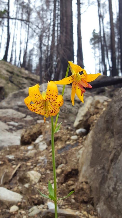 Fleur en cendres photographie stock libre de droits