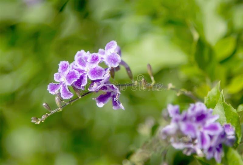 Fleur en gros plan de duranta dans le jardin montenegro photographie stock