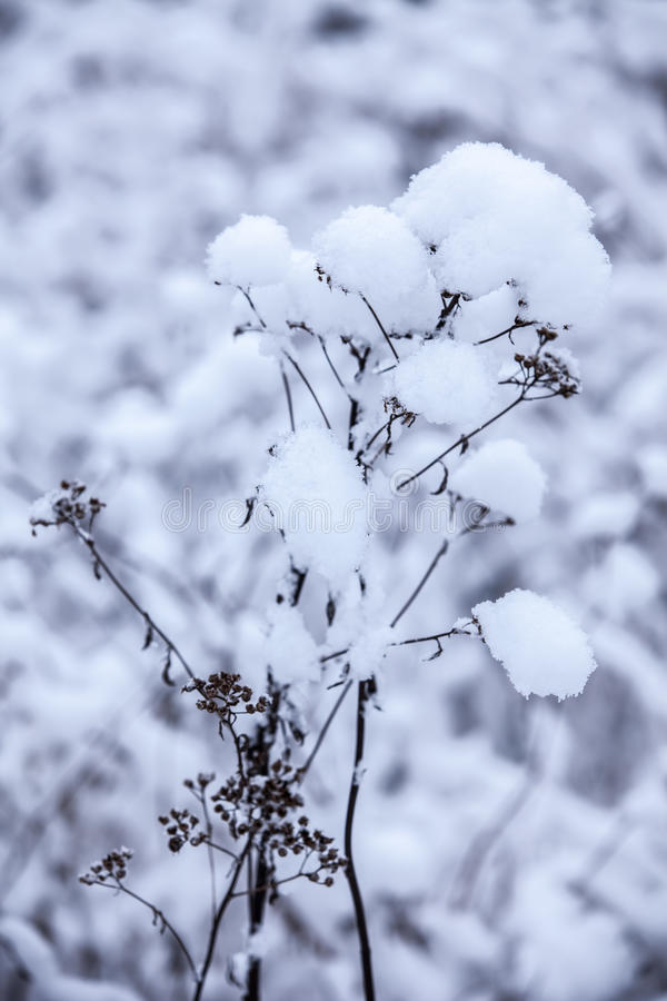fleur en hiver avec la neige photo stock image du detail bleu 43679746. Black Bedroom Furniture Sets. Home Design Ideas
