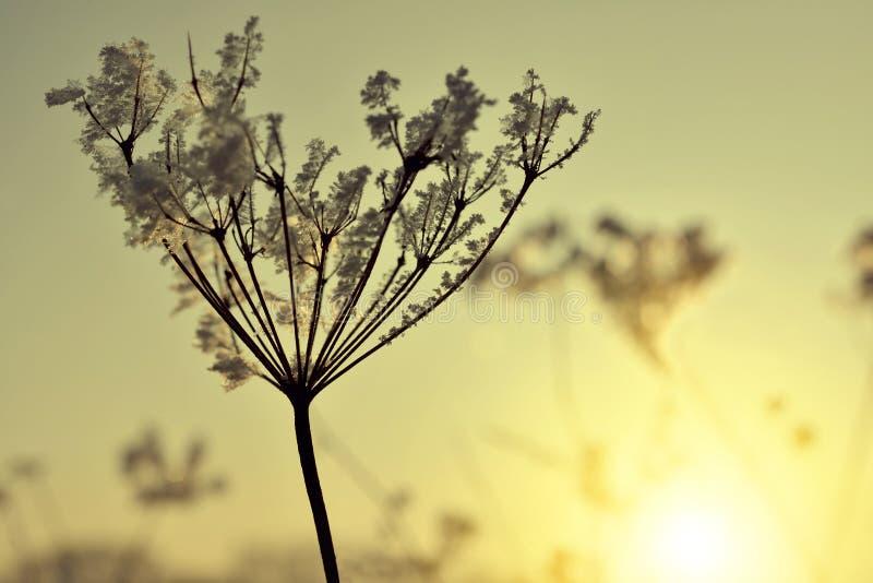 Fleur en hiver avec les cristaux de glace congelés photographie stock