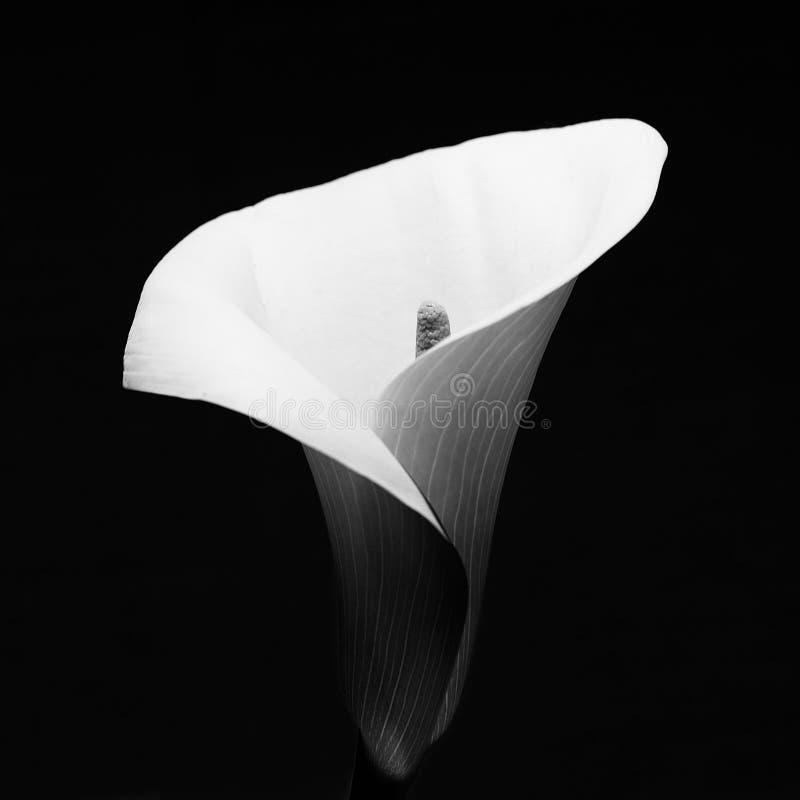 Fleur en noir et blanc photo stock