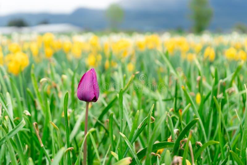Fleur en retard française de tulipe parmi le gisement de fleur à une ferme, avec les tulipes jaunes dans la distance Foyer sélect photos stock