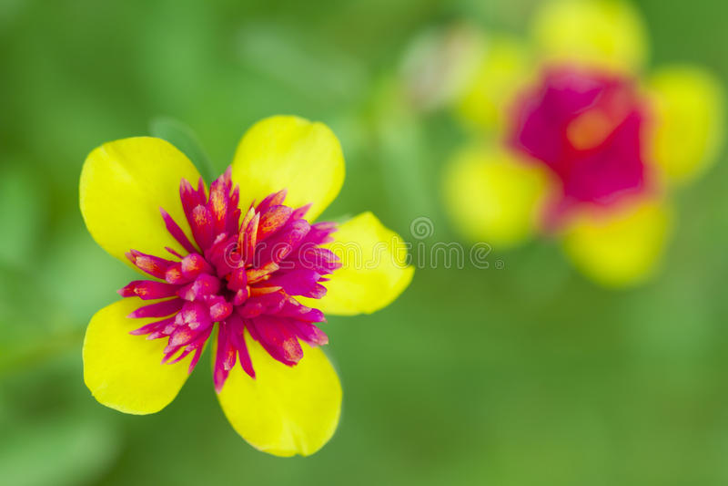 Fleur en Thaïlande image stock