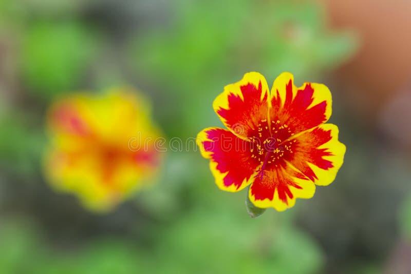 Fleur en Thaïlande images libres de droits