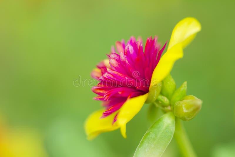 Fleur en Thaïlande photographie stock