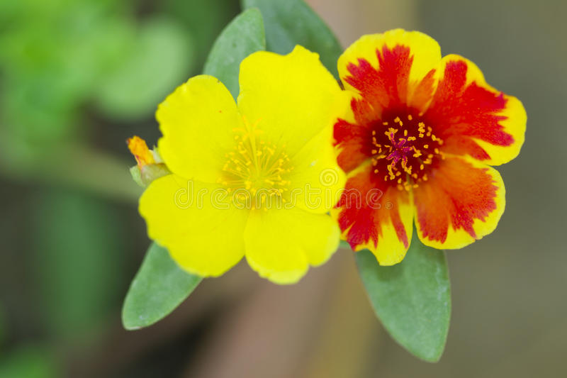 Fleur en Thaïlande photographie stock libre de droits