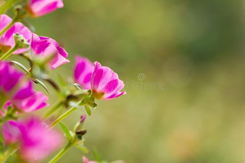 Fleur en Thaïlande images stock