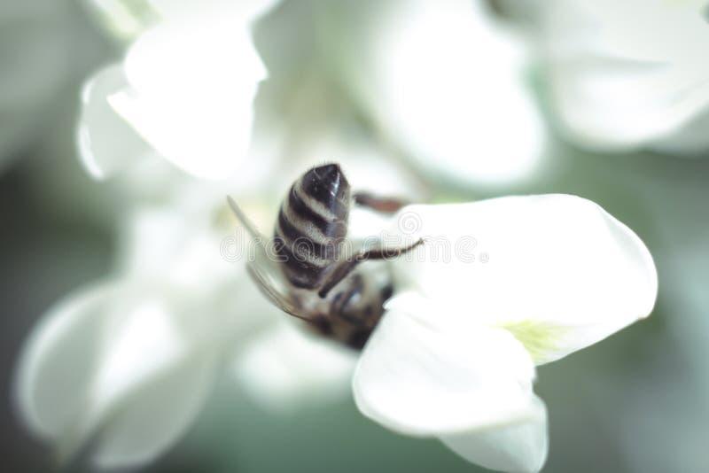 Fleur et abeille d'acacia photo stock