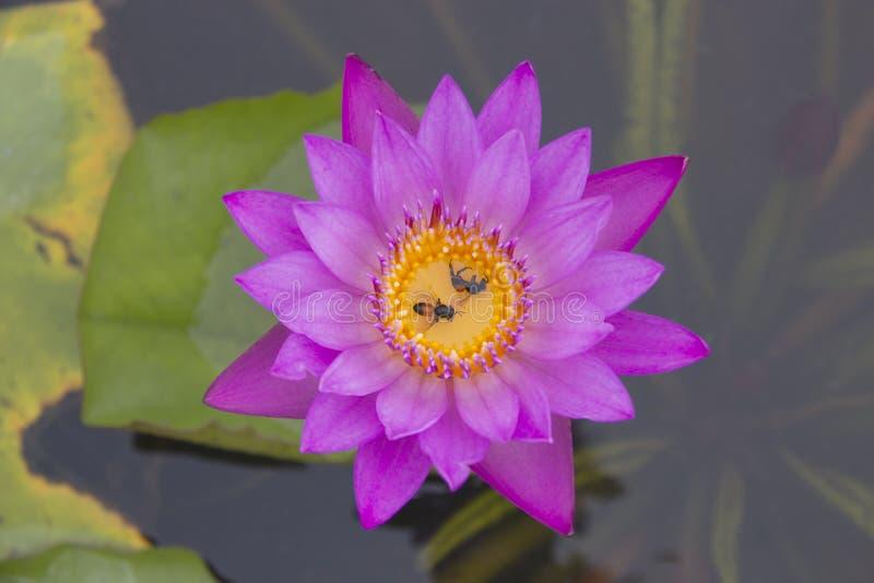 Fleur et abeille de lotus roses images libres de droits