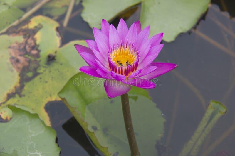 Fleur et abeille de lotus roses photo stock