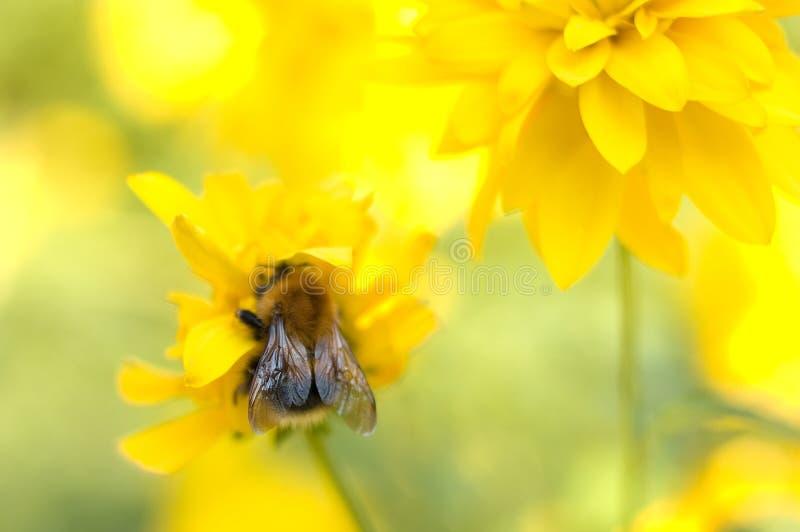 Fleur et bourdon jaunes lumineux de jardin. photo stock