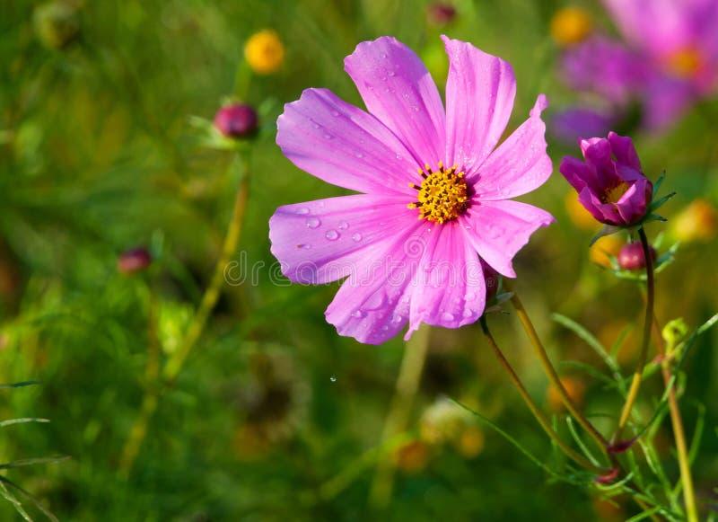 Fleur et bourgeon de cosmos photographie stock libre de droits