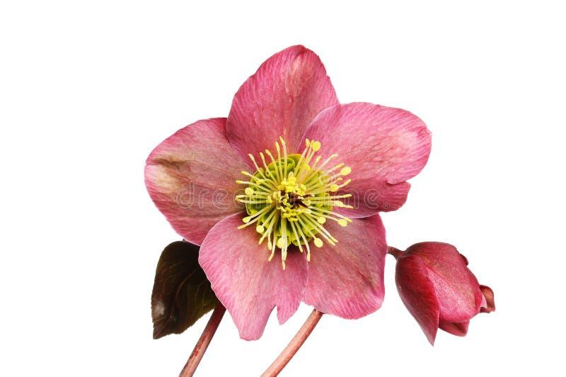 Fleur et bourgeon de Hellebore images libres de droits