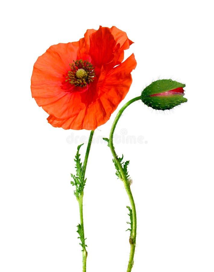 Fleur et bourgeon de pavot d'isolement sur le blanc photos libres de droits