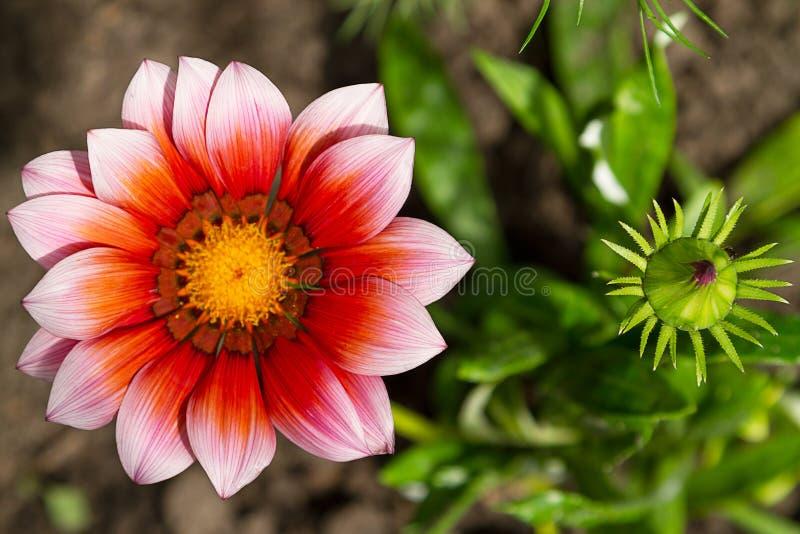 Fleur et bourgeon Gazaniyu photos stock