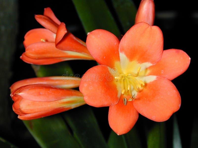 Fleur et bourgeons oranges de Clivia photo stock
