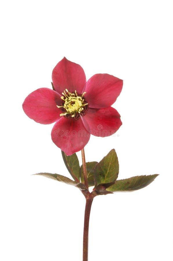 Fleur et feuillage de Hellebore photo stock