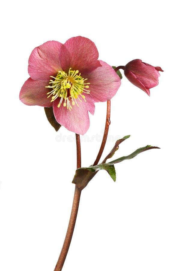 Fleur et feuillage de Hellebore image libre de droits