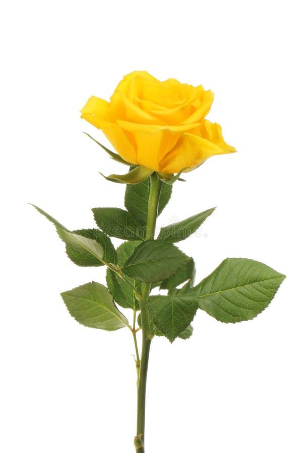Fleur et feuillage roses jaunes image stock