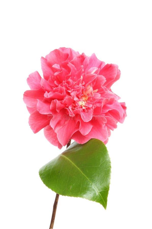 Fleur et feuille rouges de camélia photographie stock libre de droits