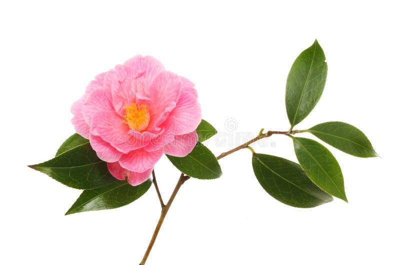 Fleur et feuilles de camélia image libre de droits