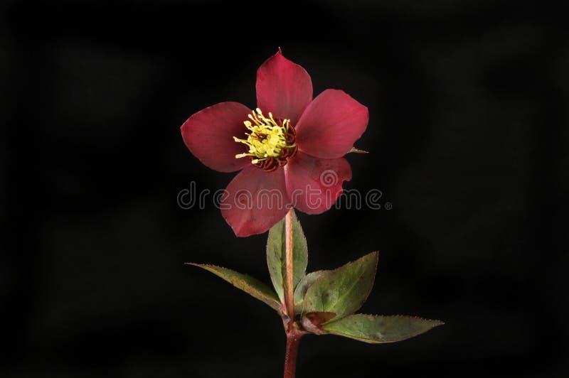 Fleur et feuilles de Hellebore contre le noir photo stock