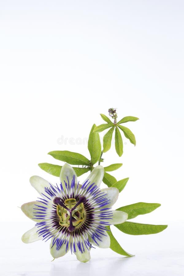 Fleur et feuilles de passiflore comestible de passiflore d'isolement sur le blanc avec la coupure images libres de droits
