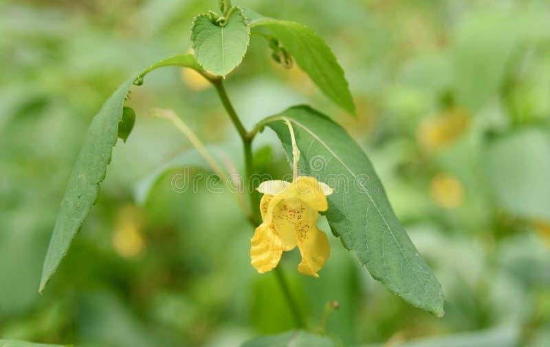 Fleur et feuilles pâles de jewelweed photo libre de droits
