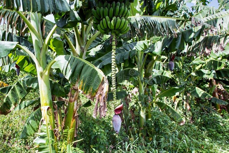 Fleur et fruits accrochants sur une paume de banane image libre de droits