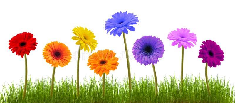 Fleur et herbe de source au-dessus de blanc images stock