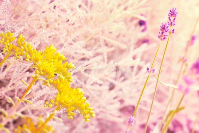 Fleur et lavande jaunes images stock