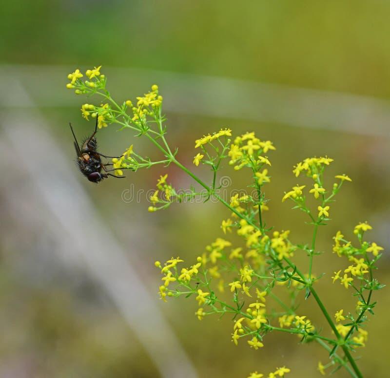 Fleur et mouche photographie stock libre de droits