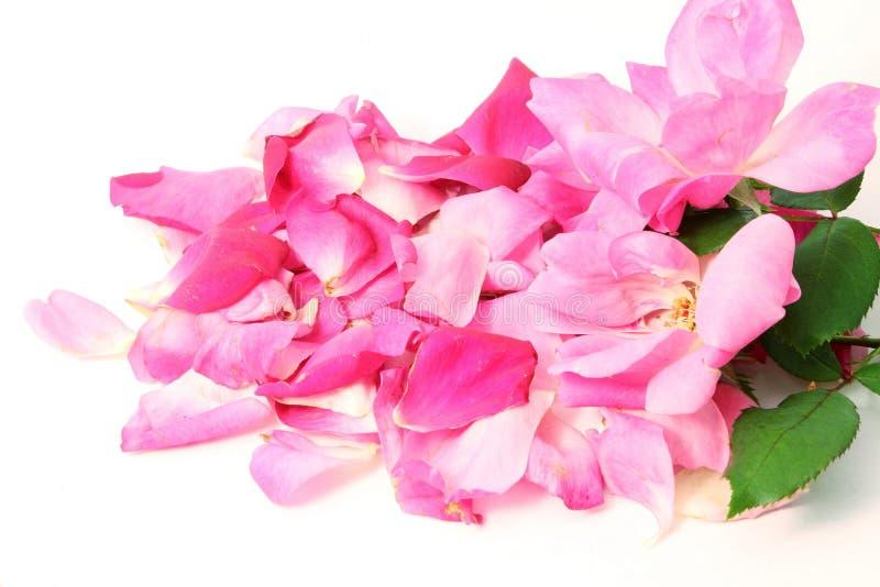 Fleur et pétales de rose de rose à l'arrière-plan blanc photographie stock