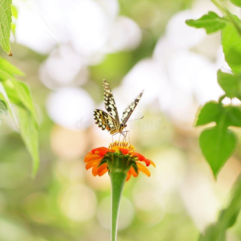 Fleur et papillon de zinnia photo stock image du saison - Image papillon et fleur ...