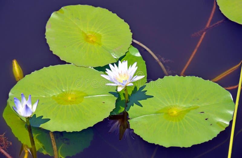 Fleur et protections de Waterlily sur un étang bleu photographie stock libre de droits