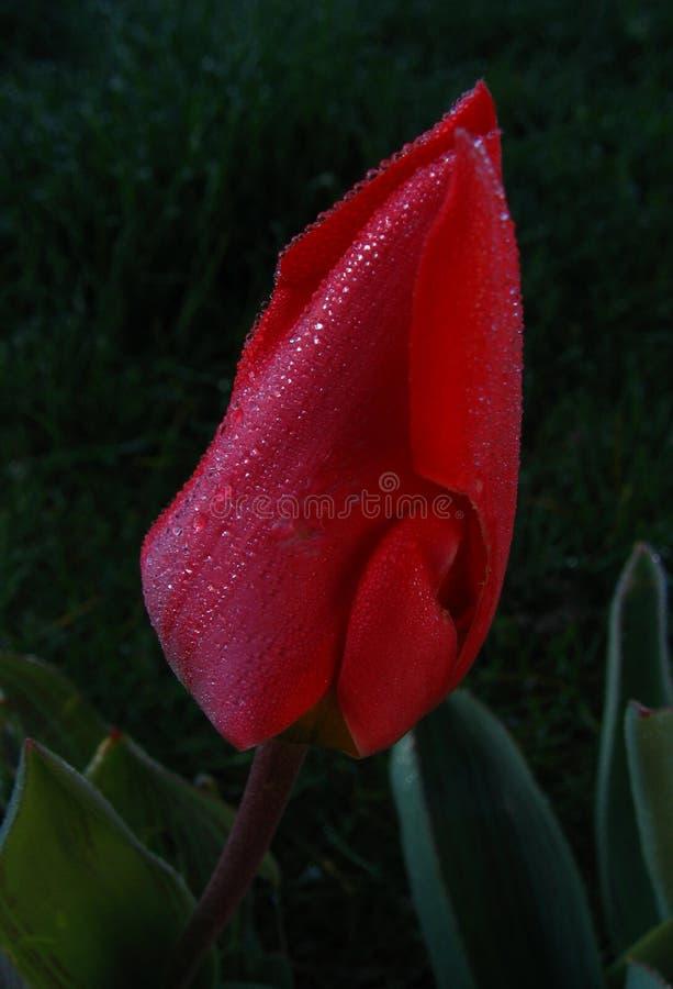 Fleur et rosée photos stock
