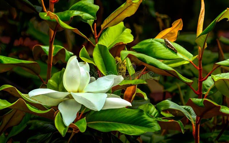 Fleur et sauterelle de magnolia photographie stock libre de droits