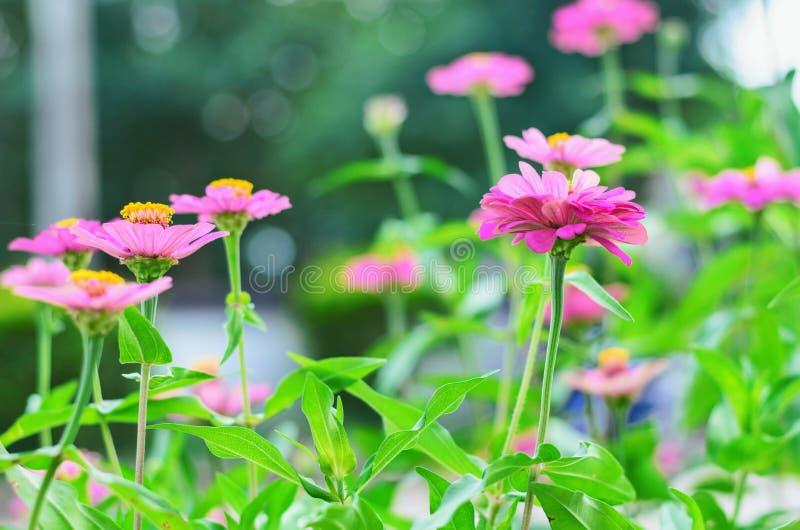 Fleur et sunhine roses images libres de droits