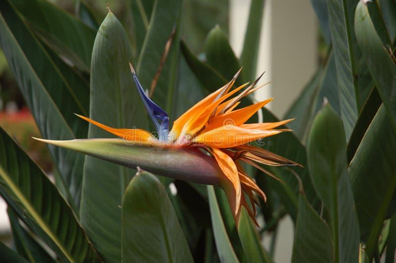 Fleur exotique image libre de droits