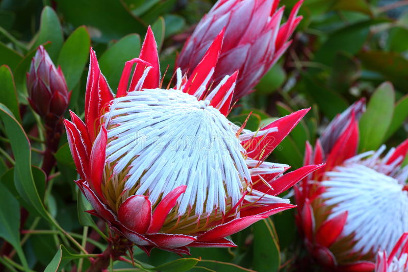 Fleur exotique du Roi Protea photo stock
