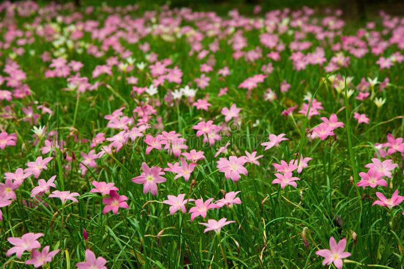 Fleur féerique de lis dans le jardin photographie stock libre de droits