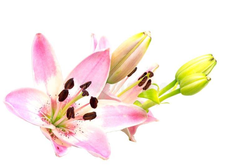 Fleur, fleur rose et bourgeons de lis d'isolement sur le blanc photos stock