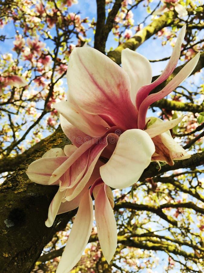 Fleur fleurie rose de magnolia photo stock